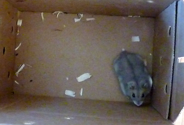 New hamster in box from PetSmart