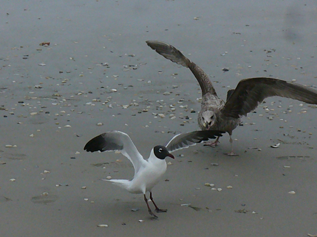 Real-life Angry Birds on the beach
