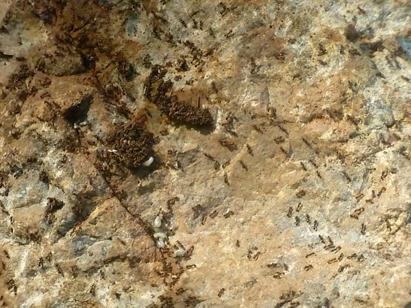 Ants under a rock