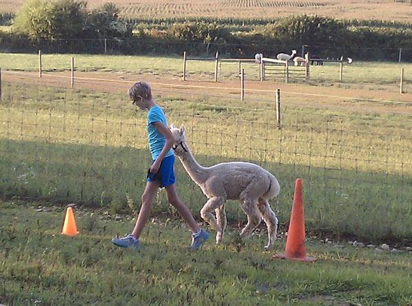 Alpaca going through obstacle course cones