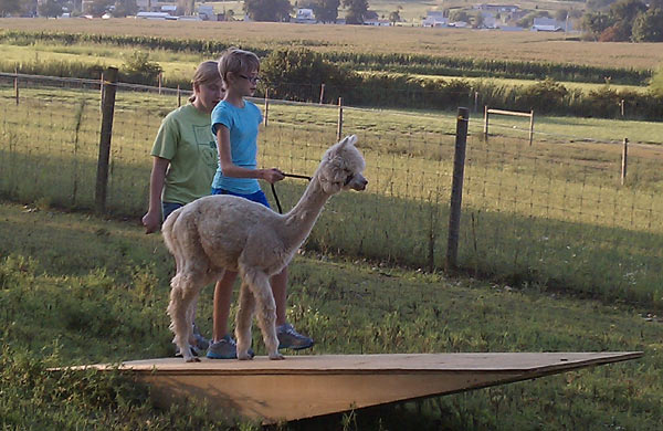 Alpaca going through obstacle course teeter-totter
