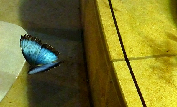 Blue Morpho butterfly at the Butterfly Experience at the Smithsonian Museum of Natural History in Washington, D.C.