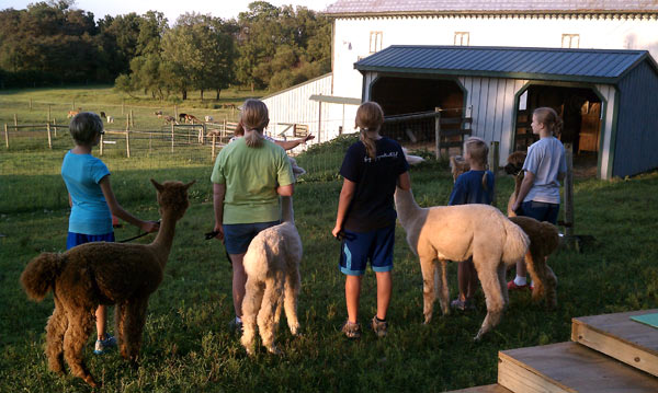 4-H alpaca club members practice showmanship