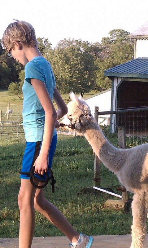 Alpaca going through obstacle course