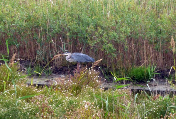 Great blue heron at Assateague Island
