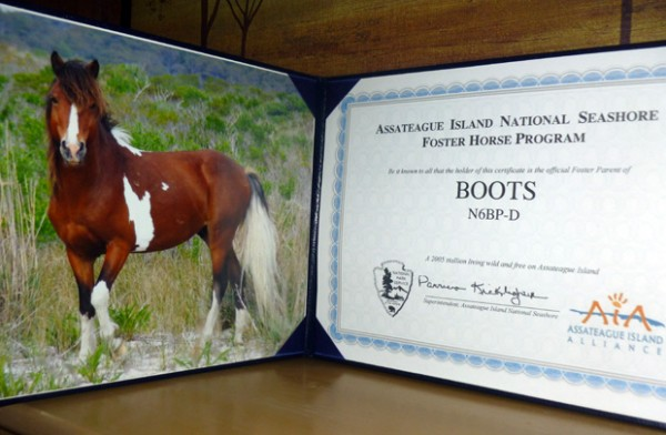 Adopting a horse on Assateague Island