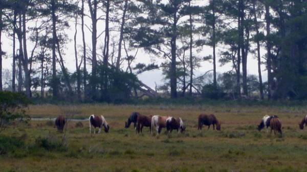 Wild ponies at Chincoteague