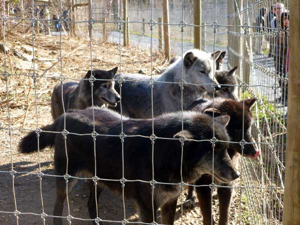 The big pack at the Wolf Sanctuary of Pennsylvania waiting to eat
