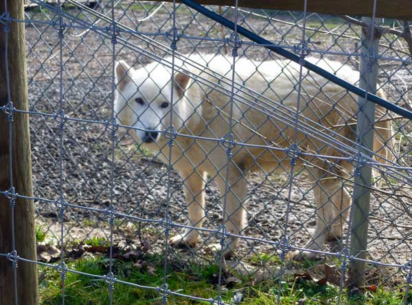 A white wolf at the Wolf Sanctuary of Pennsylvania