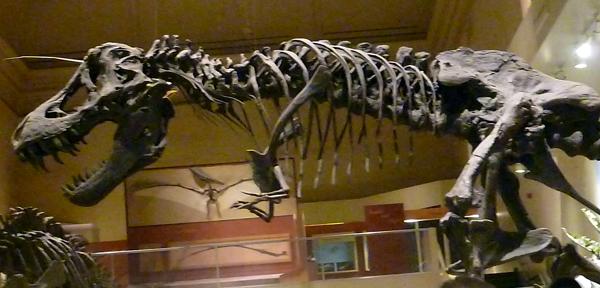 Tyrannosaurus Rex skeleton on display at the Smithsonian