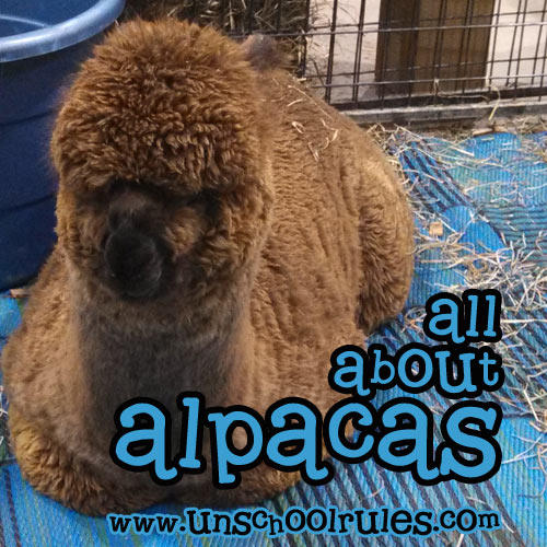 All About Alpacas unit study guide for homeschoolers and unschoolers