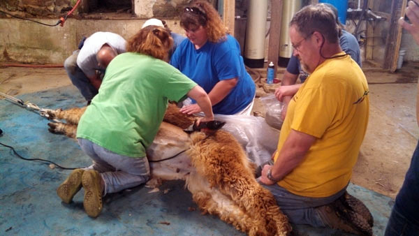 Shearing an alpaca