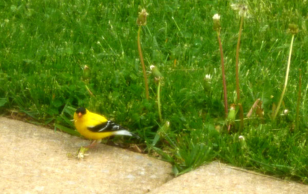 American Goldfinch in Pennsylvania yard