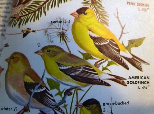 American Goldfinch description in a bird book