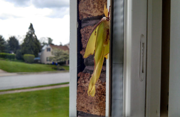 Close-up view of luna moth on Pennsylvania house window