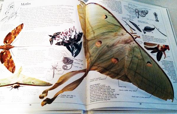 Luna moth information seen in Eyewitness Book