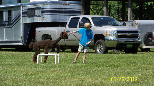 Jumping a high hurdle at a 4-H alpaca agility show