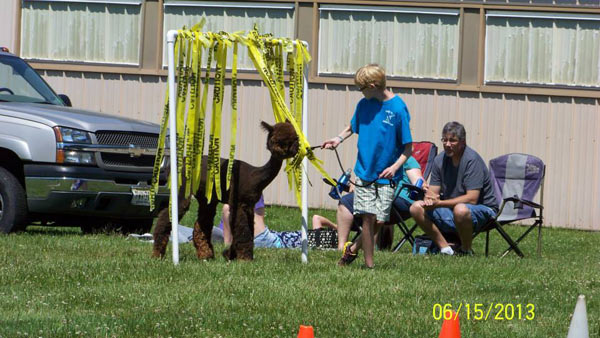 Walking an alpaca through a gate of caution tape at a 4-H agility show
