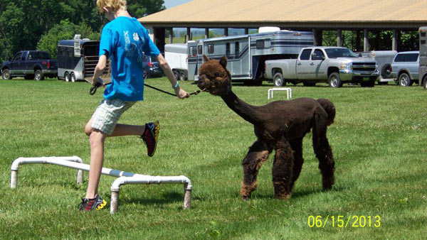 Sarah and Gia jumping hurdles at 4-H alpaca show