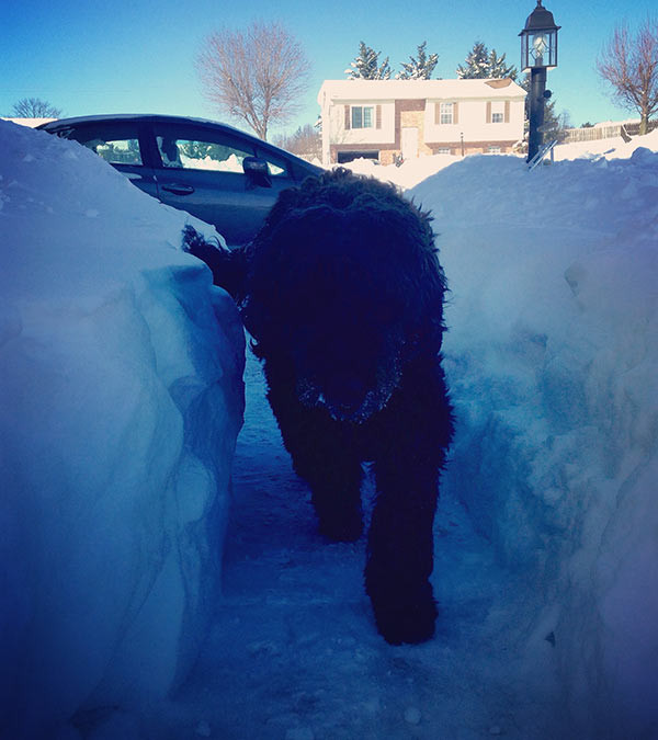 Unschooling in January 2016: This is a good example of the snow from our blizzard. Coby, by the way, is a very large dog - a golden retriever and standard poodle mix. The snow was taller than him!