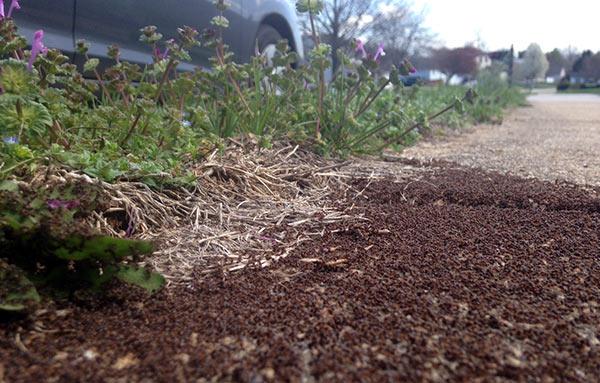 Unschooling in April 2016: Sidewalk ants