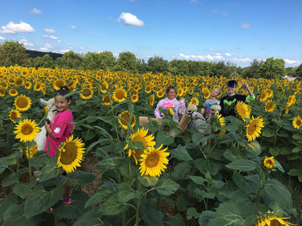 Unschooling in September 2016: What, more alpacas? In sunflowers? With cool 4-H kids? (I didn't take this photo; our club leader Sheri did; I just think it's super-cool.)
